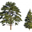 Fir and pine - Stock Photo