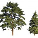 Fir and pine — Stock Photo