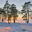Sunset in snow pine forest — Stock Photo