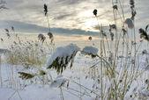 雪草 — ストック写真