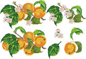 Ripe peach and flowers — Stock Vector
