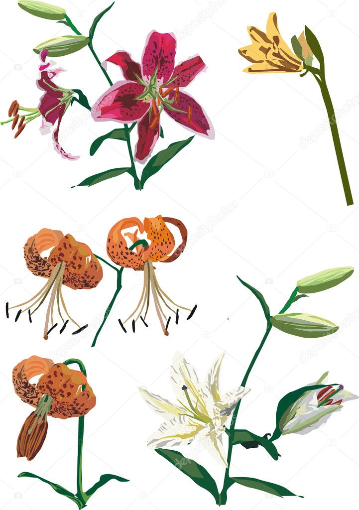 Illustration with lily flowers collection on white background  Stock Vector #1915822