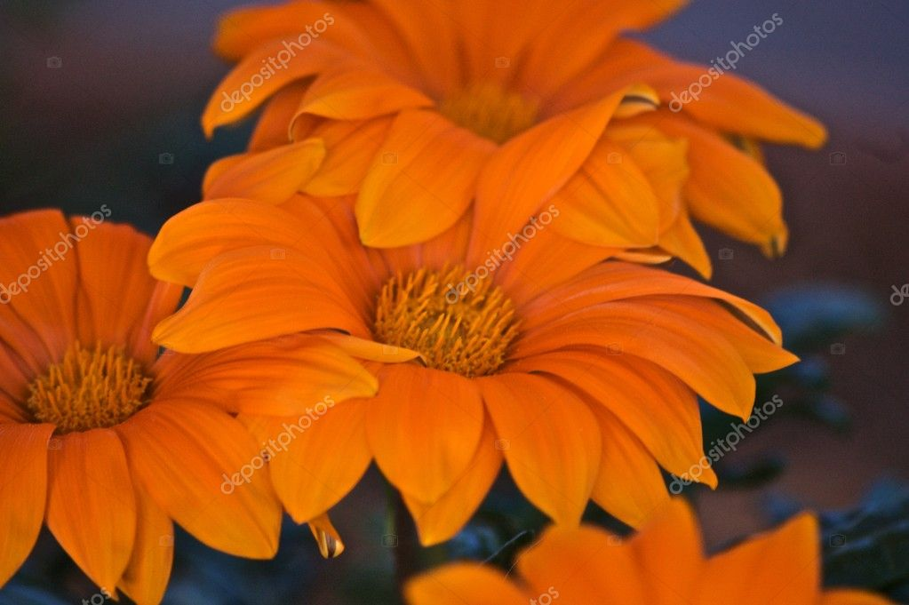 Dark Orange Flower on a dark pink blurred background   Stock Photo #1621376