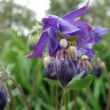 Aquilegia — Stock Photo #1727994