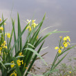 Stock Photo: Yellow iris