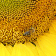 Bee on a sunflower — Stock Photo