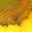 Stock Photo: Bee on a sunflower