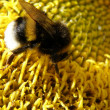 Bumblebee on a sunflower — Stock Photo