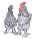 Rooster and hen, farm animal, sketch — Stock Photo