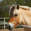 Nice fjord horse — Stock Photo