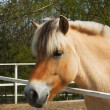 Stock Photo: Nice fjord horse
