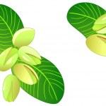 pistachos maduros — Vector de stock  #1661571