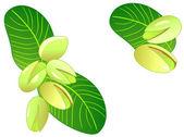 Ripe pistachios — Stock Vector