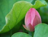 Pink lotus bud — Stock Photo