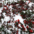 Постер, плакат: First snow and red berry