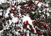 First snow and red berry — Stock Photo