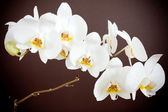 Beautiful orchid on brown background — Stock Photo