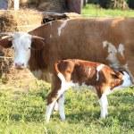 Cow family — Stock Photo #1747644