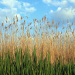 Reed — Foto Stock