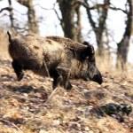 A big wild boar — Stock Photo
