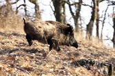 A big wild boar — Stock Photo
