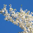 White flowers of cherry tree — Stock Photo #1647816