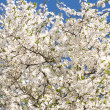 White flowers of cherry tree — Stock Photo #1649063