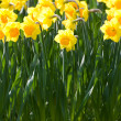 Yellow flower daffodil — Stock Photo