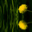 Dandelion and water reflect — Stock Photo