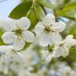 Cherry tree flowers — Stock Photo #1650856
