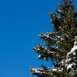 Spruce and snow — Stock Photo