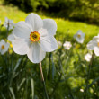 Narcissus in park — Stock Photo
