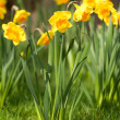 Daffodil and grass — Stock fotografie