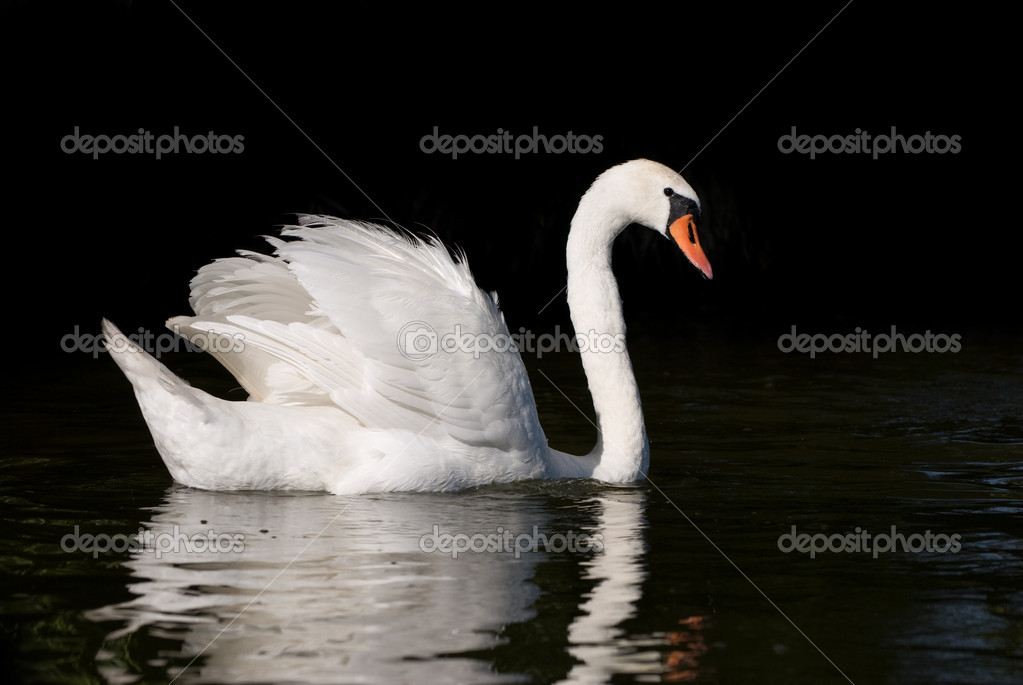 White swan on the lake — Stock Photo #1650327