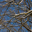 Branches and snow — Stock Photo
