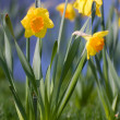 Daffodil and grass — Stock Photo