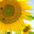 Sunflower and bumblebees — Stock Photo