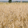 Golden grain field — Stock Photo