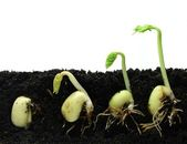 Germinating beans seeds — Stock Photo