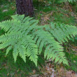 Fern plant - Stock Photo