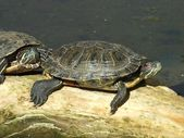 Turtles on the branch — Stock Photo