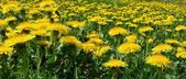 Dandelions flowers — Stock Photo