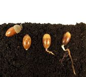Acorns germinating — Stock Photo