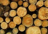 Cut trees logs — Stock Photo