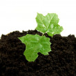 Growing plant - Stock Photo