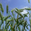 Wheat spike - Stock Photo