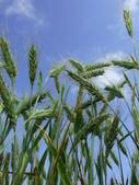 Wheat spike — Stok fotoğraf