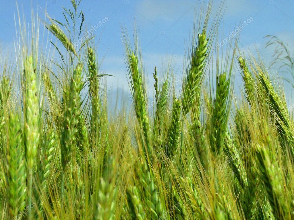 Green young wheat spike on the field — Stock Photo #1797266