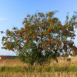 rowan tree — Stock Photo