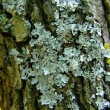 Stock Photo: Lichens